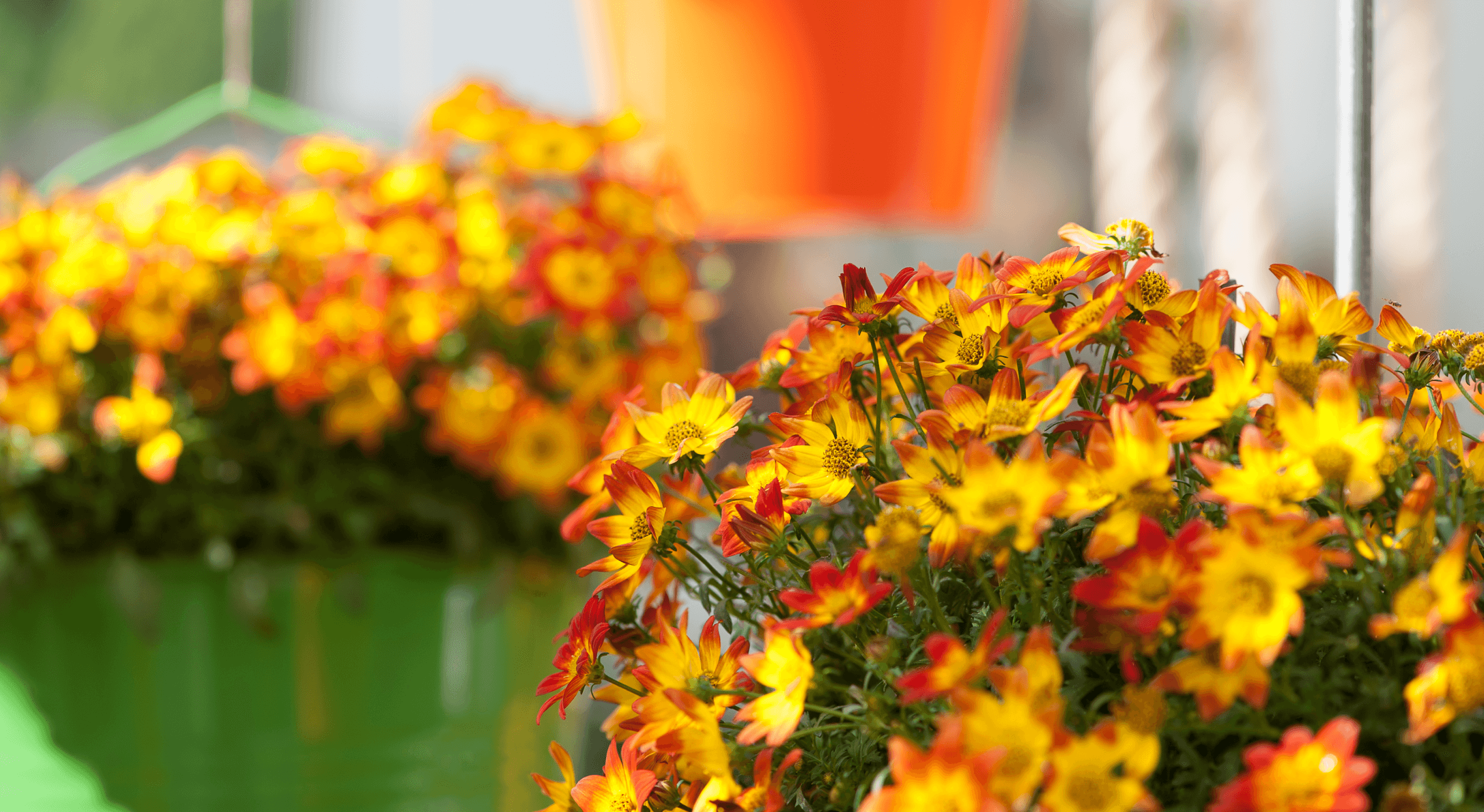 Beedance | hybrid bidens | loved by bees and butterflies