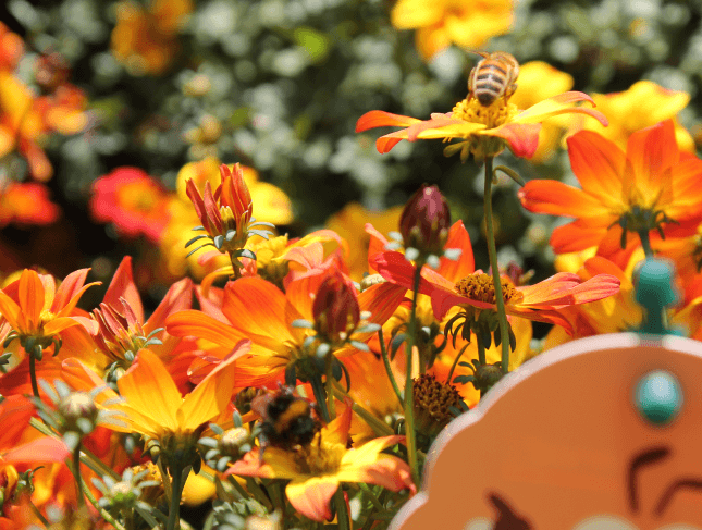 Beedance Hybrid bidens