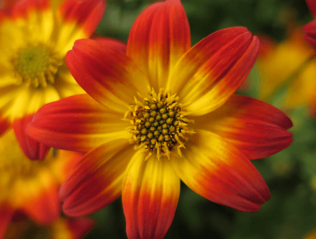 Beedance painted red | Hybrid bidens