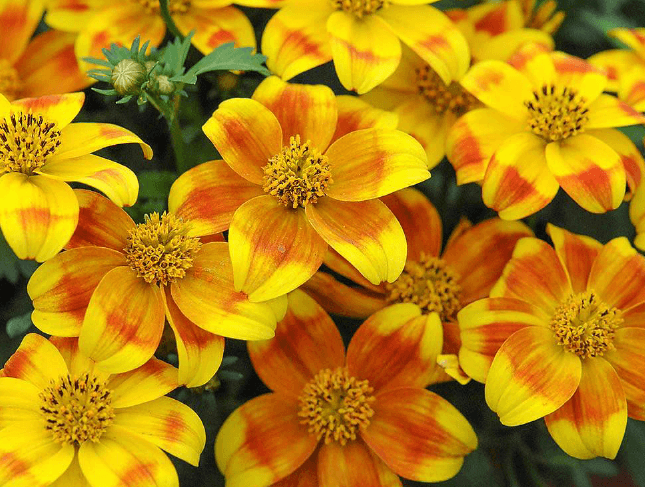 Beedance painted yellow | Hybrid bidens