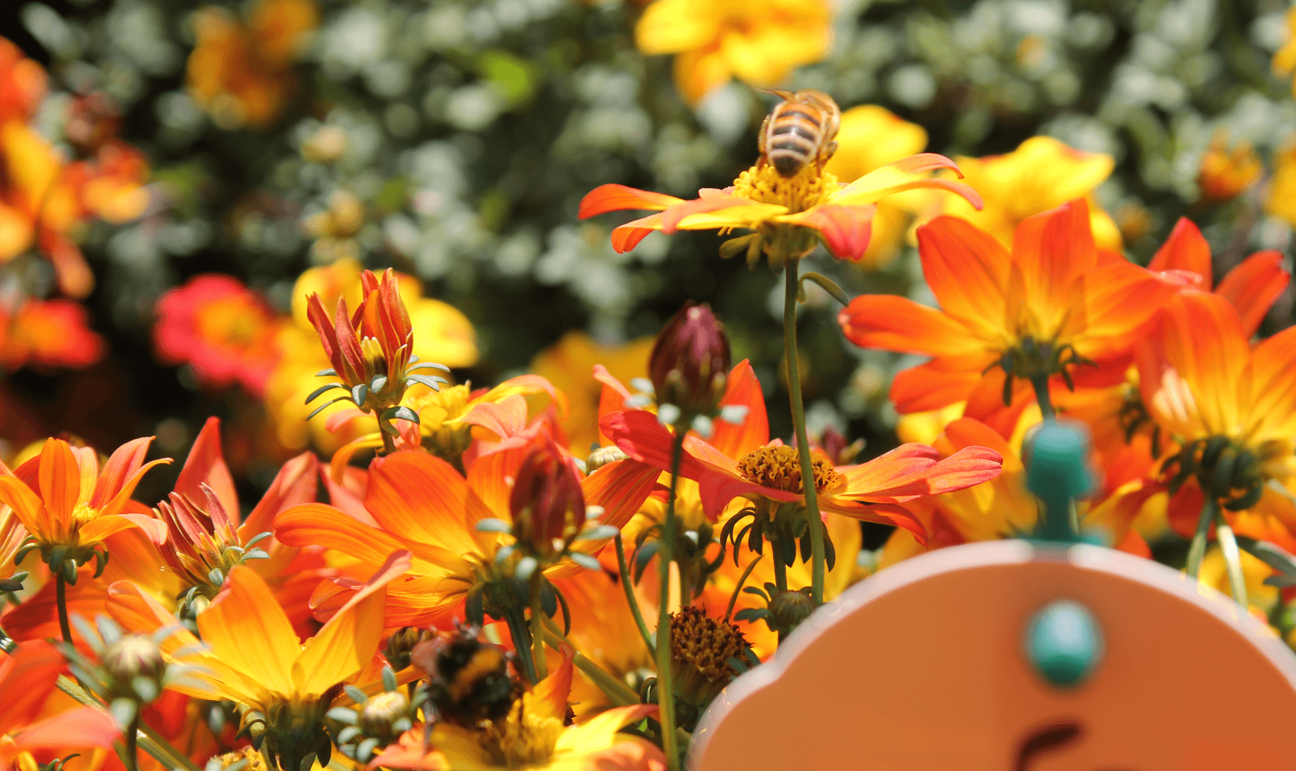 Beedance | Hybrid bidens | loved by bees